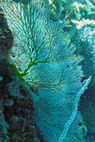 Gorgonian fan. Sun lit Gorgonian fan (Semperina sp Stock Photo