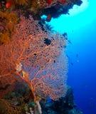Gorgonian fan coral Stock Image