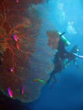 Gorgonian Fan Coral. & Divers, Balicasag, Philippines Royalty Free Stock Photography
