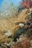Gorgonian fan coral with Redmouth grouper. Stock Photo