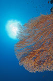 Gorgonian fan coral on a reef wall Royalty Free Stock Images