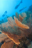 Gorgonian fan coral on a tropical reef Stock Photo