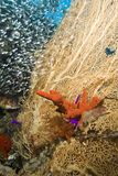 Gorgonian Fan Coral With Red Sponge. Stock Image