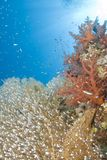 Gorgonian Fan Coral With School Of Baitfish. Stock Photos