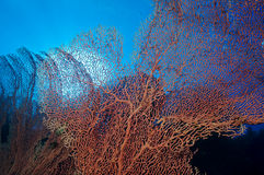 Gorgonian fans Stock Photo