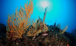 Gorgonian fans Royalty Free Stock Photo