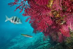 Gorgonian with fish underwater Mediterranean sea. Red gorgonian soft coral, Paramuricea clavata, with fish underwater in the Mediterranean sea, Cap de Creus royalty free stock photo