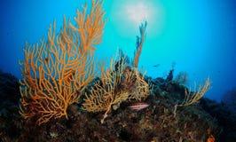 Gorgonian Gebläse Lizenzfreies Stockfoto