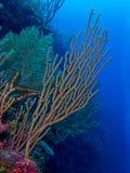 gorgonian I Arkivbild