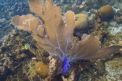 Gorgonian korala cios prądem Fotografia Royalty Free