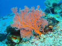 Gorgonian korall Arkivfoton