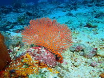 Gorgonian korall Arkivbilder