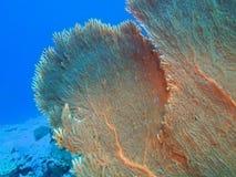 Gorgonian korall Royaltyfria Bilder