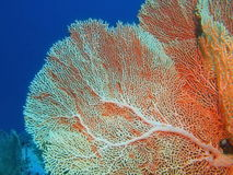 Gorgonian korall Arkivbild
