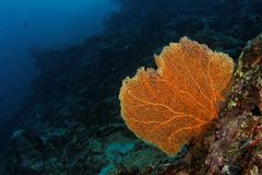 Gorgonian - Maratua atoll Stock Photography