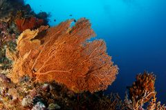 Gorgonian - Maratua atoll. This underwater picture was taken off Maratua island, East Kalimantan, Borneo Indonesia Stock Images