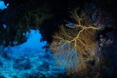 Gorgonian och mörk grotta på reven fotografering för bildbyråer