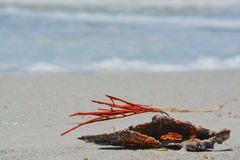 Gorgonian Orange Coral Sea Whip attached to a Pen Shell washed up on Indian Rocks Beach, Gulf of Mexico, Florida. Royalty Free Stock Image