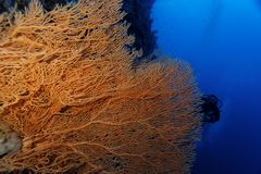 Gorgonian - Red Sea Stock Images