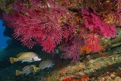 Gorgonian rosso con il mar Mediterraneo del pesce del corb fotografia stock
