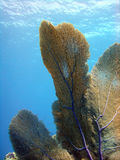 Gorgonian Sea fan. A large Gorgonian Sea Fan stretches out against the current to pick up the best of the nutrients floating past Stock Photo