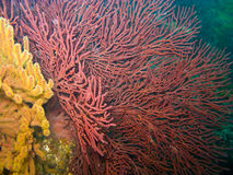 Free Gorgonian Sea Fan And Soft Coral In Catalina Royalty Free Stock Photography - 10392937