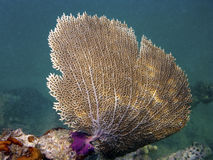 Gorgonian Sea Fan Coral Royalty Free Stock Photography