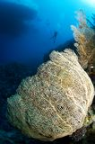 Gorgonian sea fan and diver Stock Photo