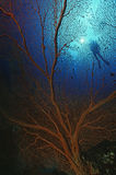 Gorgonian Sea Fan And Scuba Diver Stock Photos