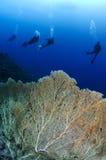 Gorgonian sea fan and scuba divers Royalty Free Stock Photo