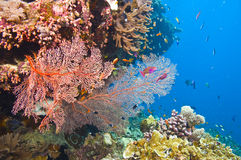 Gorgonian sea fans and coral. Large orange colored gorgonian common sea fans and variety of colorful coral with deep blue water of great barrier reef, australia stock photos