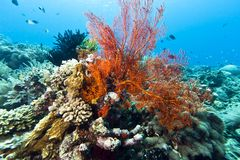 Gorgonian Sea fans Indonesia Stock Photos