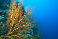 Gorgonian Sea fans Indonesia Stock Photo