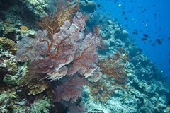 Gorgonian Sea fans Indonesia Stock Images