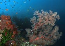 Gorgonian seafan倾斜在僵硬的洋流 免版税库存图片