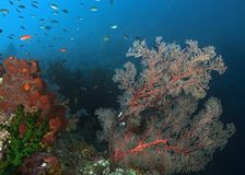 Gorgonian seafan leaning in a stiff ocean current royalty free stock images