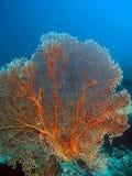 Gorgonian Seegebläse Stockbild