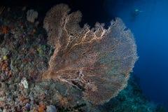 Gorgonian sur le récif Image stock