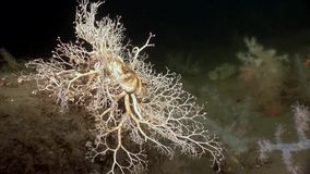Gorgonian and white fluffy soft coral underwater on seabed of White Sea. Unique video close up. Flowers of marine life in clean clear pure and transparent stock footage