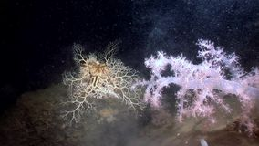 Gorgonian and white fluffy soft coral underwater on seabed of White Sea. Unique video close up. Flowers of marine life in clean clear pure and transparent stock video footage