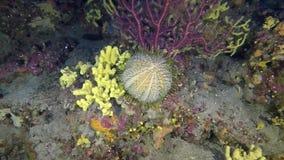 Gorgonians do throgh da opinião de diabrete de mar do melão no recife mediterrâneo profundo vídeos de arquivo