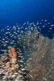Gorgonie e mare di pesce cristallo in rosso Fotografie Stock Libere da Diritti