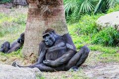 Gorila - обезьяна стоковая фотография rf
