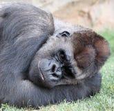 Gorila Imagenes de archivo