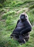 Gorila Fotografia de Stock