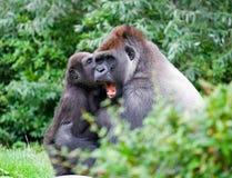 Gorila Imagens de Stock