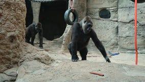 Gorila stockfotos