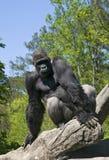 Gorila Foto de Stock
