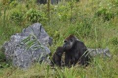 Gorila fotos de stock royalty free
