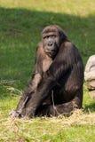 Gorila Foto de Stock Royalty Free